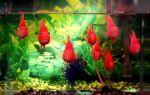 Золотой попугай рыбка – домашняя аквариумистика