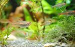 Эритрозонус – домашняя аквариумистика