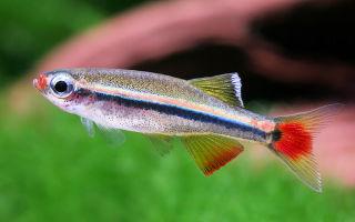 Кардинал рыбка – домашняя аквариумистика