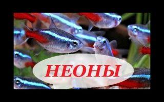 Неон синий рыбка: содержание, совместимость, разведение, фото обзор – домашняя аквариумистика