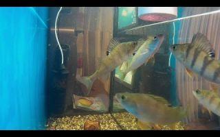Солнечный окунь: содержание, фото-видео обзор – домашняя аквариумистика