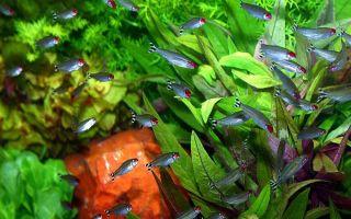 Родостомус – домашняя аквариумистика