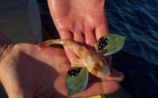 Летучие рыбы видео-рассказ! – домашняя аквариумистика