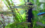 Тельматерина – домашняя аквариумистика