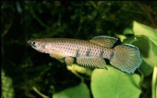 Эпиплатис шапера – домашняя аквариумистика