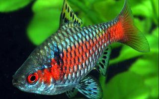 Барбус алый – домашняя аквариумистика