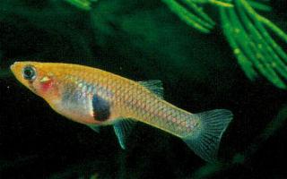 Гамбузия рыбка: содержание и фото-видео обзор – домашняя аквариумистика