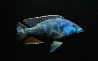 Нимбохромис ливингстона: содержание, фото-видео обзор – домашняя аквариумистика