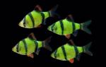 Зелёный барбус – домашняя аквариумистика