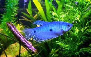 Гурами голубой – домашняя аквариумистика