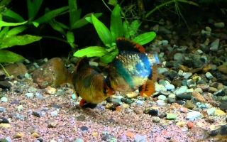 Барбус бабочка: содержание, совместимость, фото-видео подборка – домашняя аквариумистика