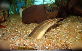 Макрогнатус сиамский – домашняя аквариумистика