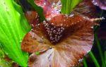 Перлинг растений – то, что заставляет сильнее биться наши сердца! – домашняя аквариумистика