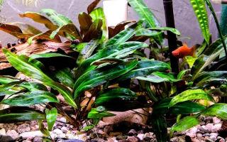 Криптокорина вендта: содержание, виды, фото-видео обзор – домашняя аквариумистика
