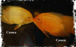 Цихлазома северум разведение и нерест – домашняя аквариумистика