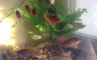 Хромис красавец – домашняя аквариумистика