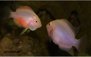 Что нужно знать при содержании цихлазом фламинго? – домашняя аквариумистика
