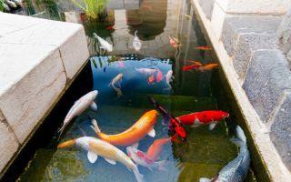 Детская радость от купания с кои! – домашняя аквариумистика