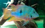 Цихлазома элиота: содержание, совместимость, фото-видео обзор – домашняя аквариумистика