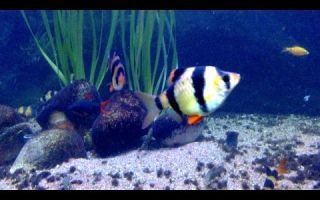 О сухих кормах для анциструсов – домашняя аквариумистика