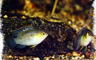 Акара курвицепс круглоголовая: содержание, совместимость, разведение, фото-видео подборка – домашняя аквариумистика