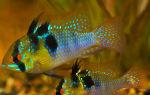 Хромис бабочка – хромис рамиреза – домашняя аквариумистика