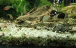 Стурисома панамская: содержание, совместимость, размножение, фото-видео обзор – домашняя аквариумистика