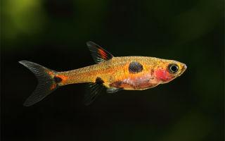 Расбора пятнистая – домашняя аквариумистика