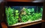 Анубиас  содержание в аквариуме, виды, размножение, посадка, фото-видео обзор – домашняя аквариумистика