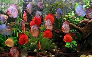 Пельматохромис, пельвикахромис  или попугайчик – домашняя аквариумистика