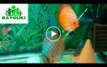Как видят рыбки? – домашняя аквариумистика