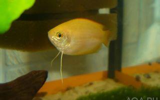 Гурами медовый: содержание, самец и самка, фото-видео обзор – домашняя аквариумистика