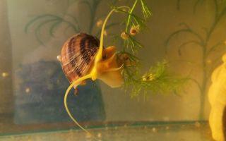 Улитки катушки в аквариуме – домашняя аквариумистика