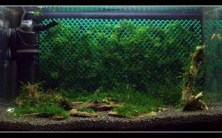 Мох яванский в аквариуме: содержание, закрепление, разведение, фото-видео обзор – домашняя аквариумистика