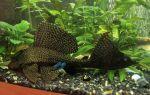 6 популярных аквариумных сомиков и их содержание – домашняя аквариумистика