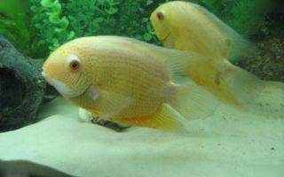 Советы по несложному содержанию большой цихлазомы северум – домашняя аквариумистика