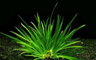 Аир травянистый – домашняя аквариумистика