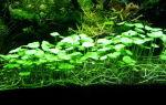Гидрокотила вертикальная, щитолистник мутовчатый или водяной пупок: содержание, фото-видео обзор – домашняя аквариумистика