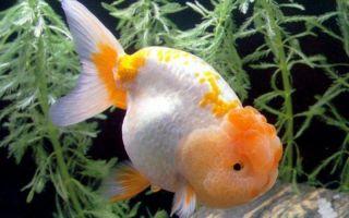 Ранчу – золотая рыбка – домашняя аквариумистика