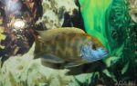 Нимбохромис венустус – золотой леопард – домашняя аквариумистика