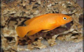 Лампрологус апельсиновый (neolamprologus leleupi) – домашняя аквариумистика
