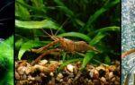 Креветка макробрахиум в аквариуме – домашняя аквариумистика