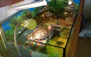 О содержании красноухой черепахи, которую заводят практически все – домашняя аквариумистика
