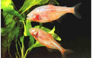 Слепая рыбка астианакс – домашняя аквариумистика