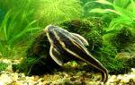 Платидорас – домашняя аквариумистика