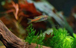 Данио хопра или светлячок: содержание, фото-видео обзор – домашняя аквариумистика