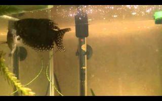 Хитрости в содержании рыбок гурами: от происхождения до размножения – домашняя аквариумистика