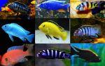 Рыбы африки: малавийские цихиды и рыбы танганьики – домашняя аквариумистика