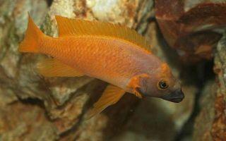 Пристелла фото-видео обзор – домашняя аквариумистика