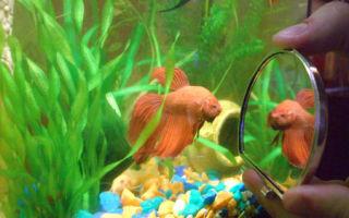 Совместимость золотых рыбок – домашняя аквариумистика